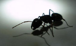 Carpenter Ants: America's #1 Pest